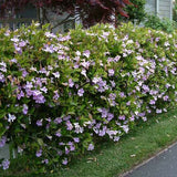 Purple Trumpet Vine - C&J Gardening Center