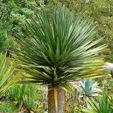 Dragon Tree - C&J Gardening Center