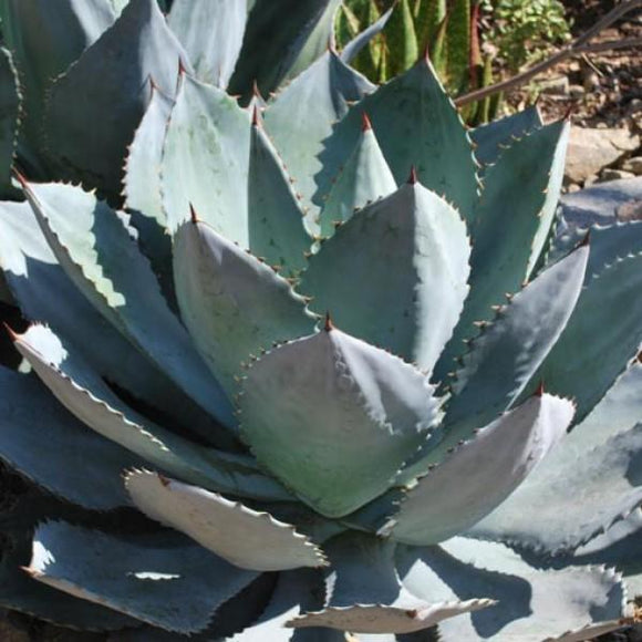 Dragon Toe Agave - C&J Gardening Center