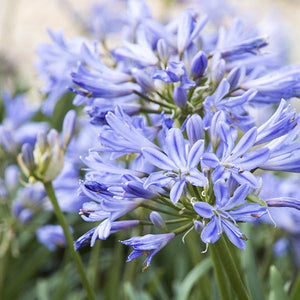 Dwarf Blue Lily of the Nile - C&J Gardening Center