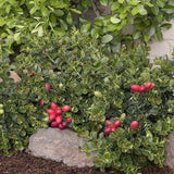 Dwarf Natal Plum - C&J Gardening Center