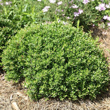 Dwarf Yaupon Holly - C&J Gardening Center