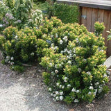 Dwarf Yeddo Hawthorn - C&J Gardening Center