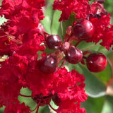 Dynamite Red Crape Myrtle - C&J Gardening Center