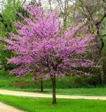 Eastern Redbud - C&J Gardening Center