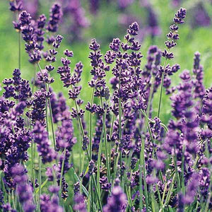 English Lavender - C&J Gardening Center