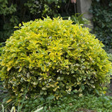 Golden Euonymus - C&J Gardening Center
