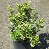 White Variegated Euonymus - C&J Gardening Center