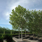 London Plane Tree - C&J Gardening Center