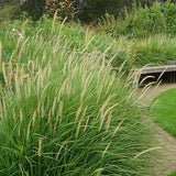 Fairy Tails Fountain Grass - C&J Gardening Center