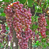 Flame Seedless Grape - C&J Gardening Center