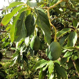 Fuerte Avocado - C&J Gardening Center