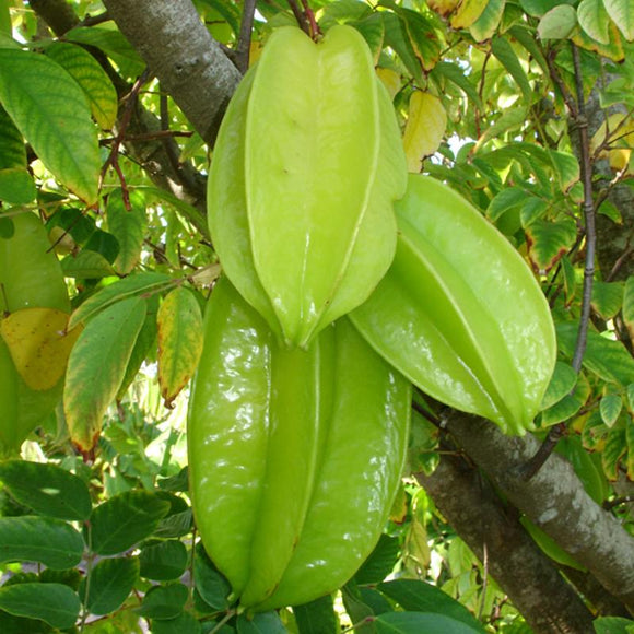 Fwang Tung Starfruit - C&J Gardening Center