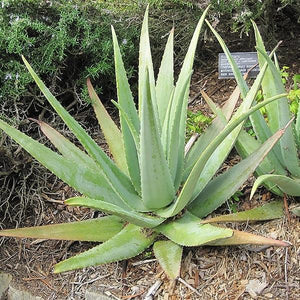 Aloe Vera - C&J Gardening Center