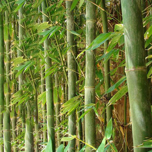 Giant Timber Bamboo - C&J Gardening Center