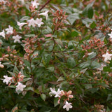 Glossy Abelia - C&J Gardening Center