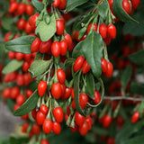 Goji Berry - C&J Gardening Center