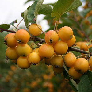 Gold Nugget Loquat - C&J Gardening Center