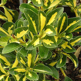 Gold Spot Euonymus - C&J Gardening Center