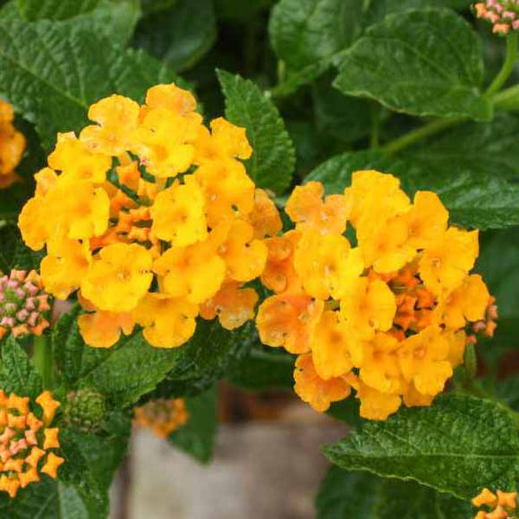 Gold Spreading Lantana - C&J Gardening Center