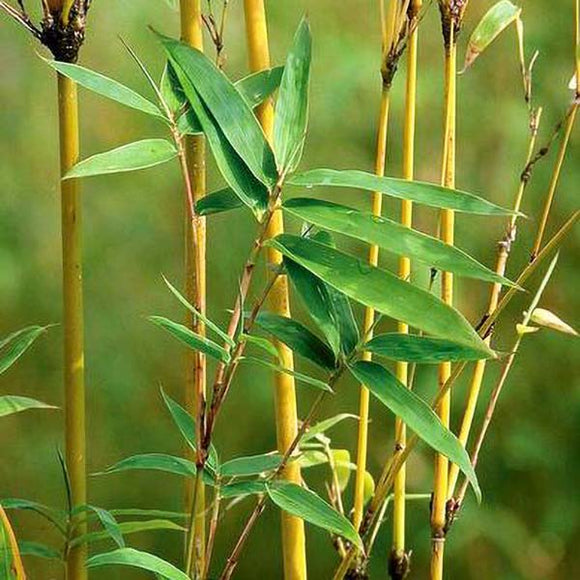 Golden Goddess Bamboo - C&J Gardening Center