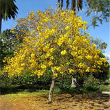 Golden Trumpet Tree - C&J Gardening Center
