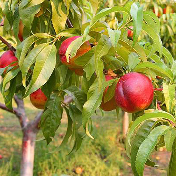 Goldmine Nectarine - C&J Gardening Center