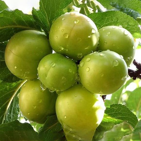 Green Gage Plum - C&J Gardening Center