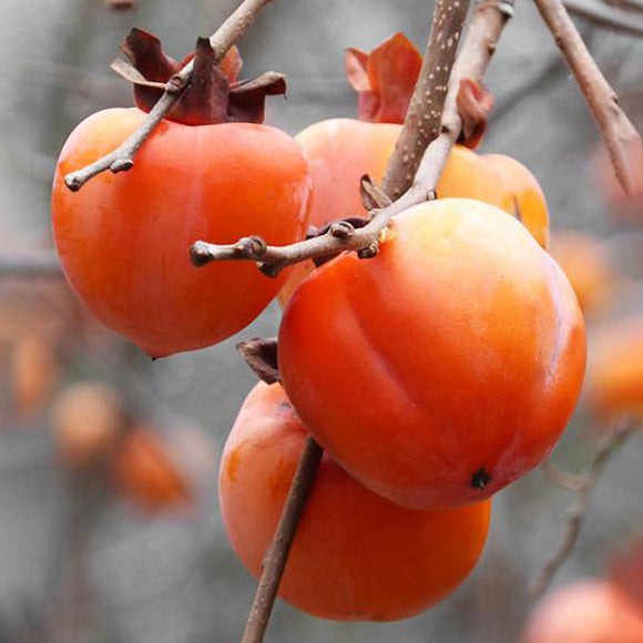 Hachiya Persimmon - C&J Gardening Center