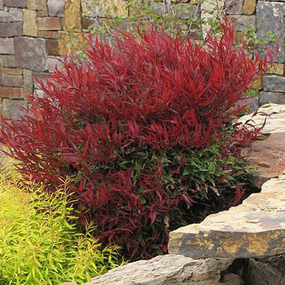 Compact Heavenly Bamboo - C&J Gardening Center