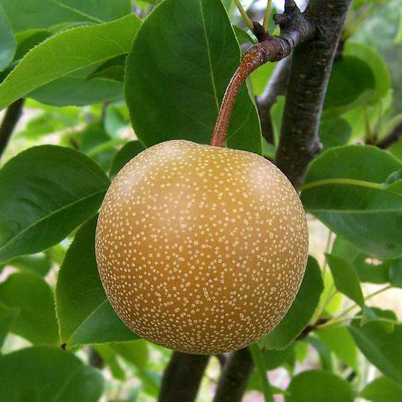 Hosui Asian Pear - C&J Gardening Center