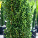 Italian Cypress - C&J Gardening Center
