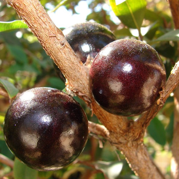 Jaboticaba - C&J Gardening Center