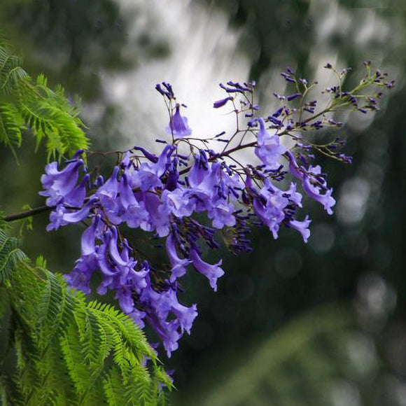 Jacaranda - C&J Gardening Center
