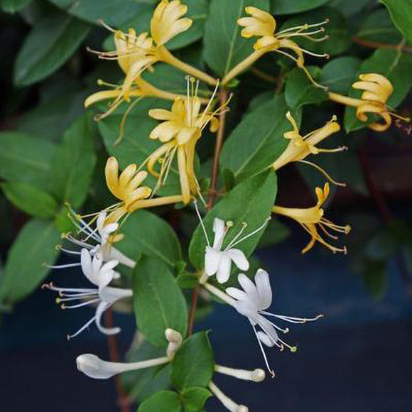 Japanese Honeysuckle - C&J Gardening Center