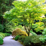 Japanese Maple - C&J Gardening Center