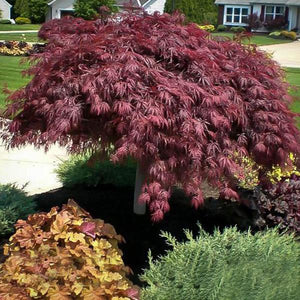 Crimson Queen Japanese Maple - C&J Gardening Center