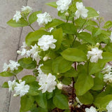 Arabian Jasmine Maid of Orleans - C&J Gardening Center