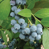 Jubilee Blueberry - C&J Gardening Center