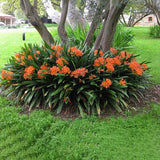 Belgian Orange Kaffir Lily - C&J Gardening Center