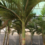 King Palm - C&J Gardening Center