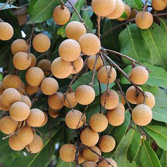 Kohala Longan - C&J Gardening Center