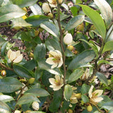 Banana Shrub - C&J Gardening Center