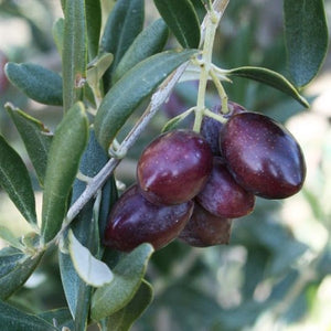 Manzanillo Olive - C&J Gardening Center