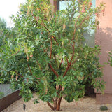 Marina Strawberry Tree - Multi Trunk - C&J Gardening Center