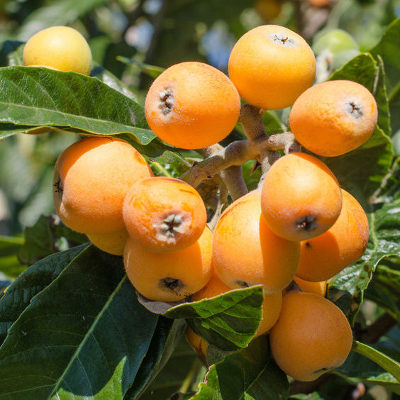 McBeth Loquat - C&J Gardening Center