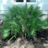 Mediterranean Fan Palm - C&J Gardening Center