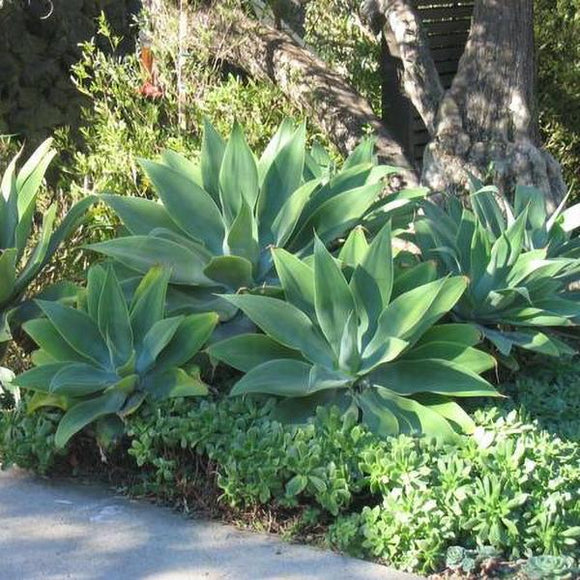 Fox Tail Agave - C&J Gardening Center