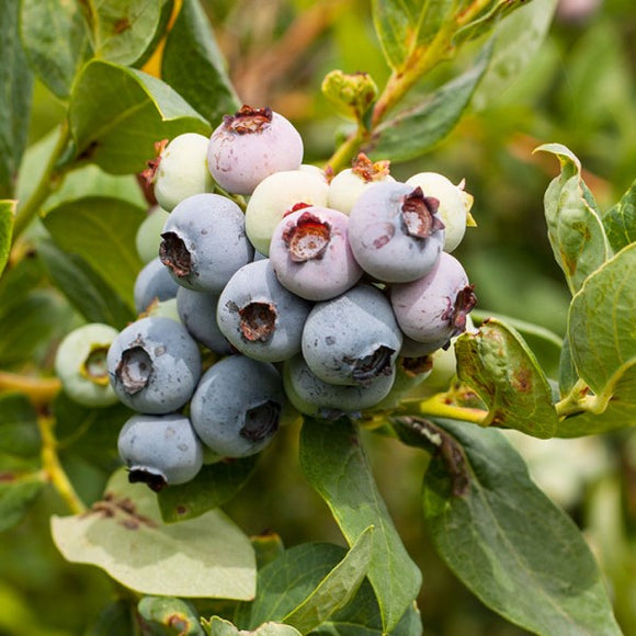 Misty Blueberry - C&J Gardening Center