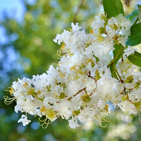 Natchez White Crape Myrtle - C&J Gardening Center